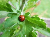 Сладостный ladybird спать в малых лист Стоковое Фото