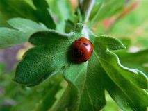 Сладостный ladybird спать в малых лист Стоковое фото RF