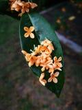Сладостн-пахнущий цветок османтуса лежа на одиночных лист Стоковая Фотография