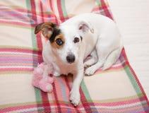Сладостный Jack Рассел на кровати Стоковая Фотография