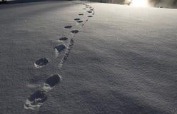 Следы волка в снеге Стоковые Фотографии RF