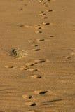 следы лисицы Стоковые Изображения RF