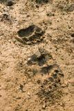 следы медведя Стоковая Фотография