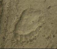 Следы ноги бурого медведя Стоковое Фото