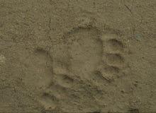 Следы ноги бурого медведя Стоковая Фотография