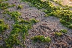 Следы ноги птицы на песке на взморье Стоковые Фотографии RF