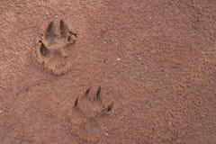 Следы ноги собаки Стоковое Изображение
