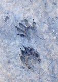 следы raccoon Стоковое Фото