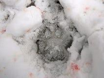След волка в снеге, Стоковые Изображения