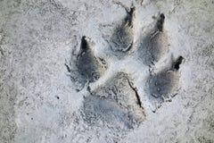 След волка печатает канадскую глушь скалистой горы Стоковое Фото