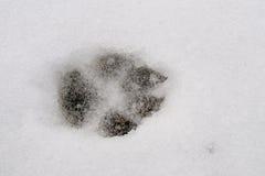 След волка Стоковое Изображение RF