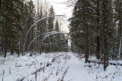 След в снежном елевом лесе Стоковые Изображения