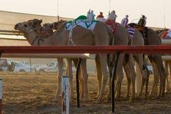 След гонки верблюда Marmoum Al Стоковая Фотография