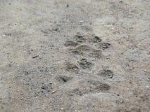 След дикого животного Стоковое Изображение RF