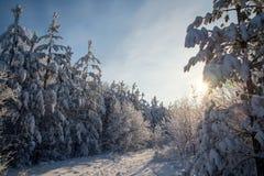 След лыжи среди сосен на морозном утре зимы стоковое изображение rf