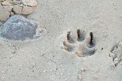 След ноги собаки на пляже песка с предпосылкой и заболоченным местом у стоковая фотография rf
