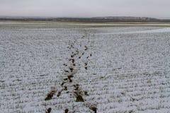 След оленей косуль в покрытой снег степи Стоковое фото RF