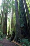 След через прибрежный лес Redwoods, парк штата Del Norte, северную калифорния Стоковое фото RF