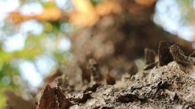 Слезать облупленную кору дерева padauk Бирмы сток-видео