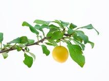 слива вишни Стоковые Фото