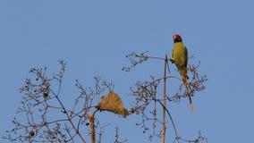 Слива возглавила длиннохвостый попугая Стоковая Фотография