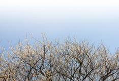 слива цветений Стоковая Фотография