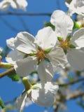 слива цветений Стоковое фото RF