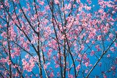 Слива цветения весны цветка розовая стоковая фотография rf