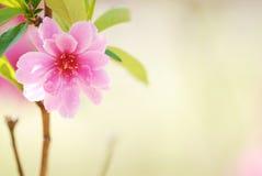 слива цветения Стоковое Фото