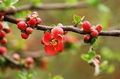 слива цветения Стоковые Фотографии RF