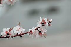слива цветка Стоковая Фотография