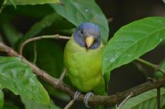 Слив-головый длиннохвостый попугай Стоковое Изображение