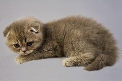 сложите scottish котенка Стоковое Изображение RF