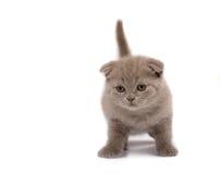 сложите scottish котенка Стоковые Фотографии RF