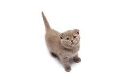 сложите scottish котенка Стоковые Изображения