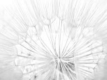 слойка одуванчика ложная Стоковые Фото