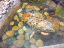 Слойк-лицее buccata Homalopsis змейки воды Стоковое Изображение