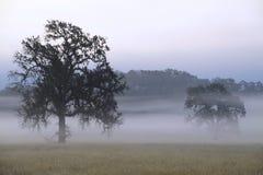 Слой тумана завишет между дубами стоковые изображения rf