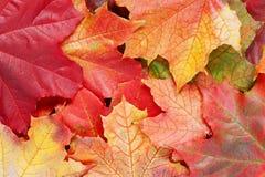 Слой ярких листьев осени клена Стоковые Изображения RF