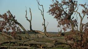 Сломайте вниз с старого дуба на полях осени после шторма акции видеоматериалы
