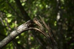 сломленная ветвь в древесинах Стоковое фото RF