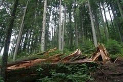 Сломленное дерево в лесе летом стоковое изображение rf