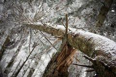 Сломленное дерево рушилось над другое одним Стоковое Фото