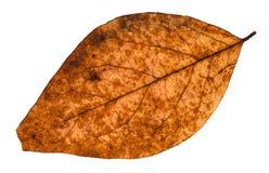 сломленные высушенные изолированные лист дерева тополя Стоковые Фото