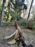 сломленные деревья в лесе стоковые фотографии rf