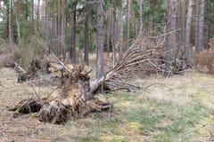 Сломленные пни вянуть деревьев Повреждение сделанное к лесу st стоковая фотография rf