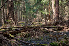 Сломленный лежать ствола дерева сосенки Стоковые Изображения RF
