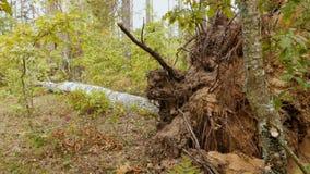 Сломленный лес после мощного урагана акции видеоматериалы