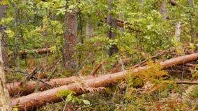 Сломленный лес после мощного урагана сток-видео