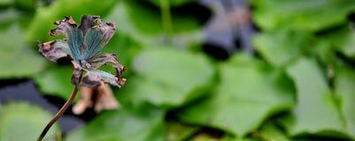 сломленный лотос листьев Стоковая Фотография RF